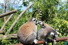 Beso de monos lindos Fotografía de archivo libre de regalías
