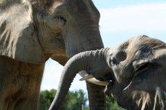 Beso del elefante Fotografía de archivo libre de regalías