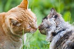 Beso del gato Fotografía de archivo