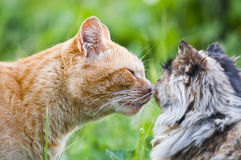 Beso del gato Imagen de archivo libre de regalías