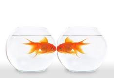 Beso del Goldfish Foto de archivo libre de regalías