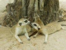 Beso del meerkat en el parque zoológico Imagen de archivo libre de regalías