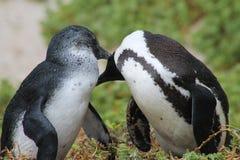 Beso del pingüino Imagen de archivo libre de regalías