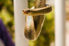 Beso serpentino Fotos de archivo