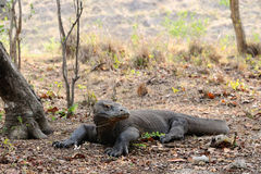 Besorgnis erregendes Komodowaran lizenzfreie stockbilder