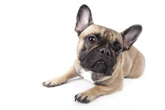 Besorgte französische Bulldogge Stockbilder