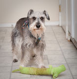 Besorgter kleiner Hund mit Spielspielzeug Stockbild