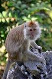 Besorgter Makaken saß auf einem Felsen in Thailand Stockbilder