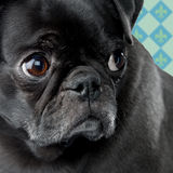Besorgter Pug Lizenzfreie Stockfotografie