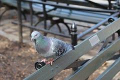 Besorgter schauender Wartezaun der bunten Taube Stockfotos