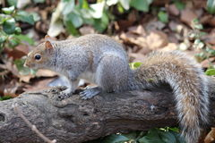 Besorgtes schauendes Eichhörnchen mit schönem Endstück Lizenzfreie Stockfotos