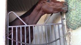 Besorgtes vollblütiges laufendes Pferd isst Heu stock footage