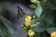 Besos de la mariposa Fotos de archivo