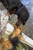 Besos del perro Imagenes de archivo