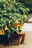 Besotteddoornappel Oranje Doornappelbloemen of Engelentrompetten in volledige bloei in het midden van groen gebladerte royalty-vrije stock foto