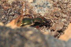 Besouro à terra dourado Fotos de Stock