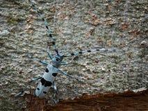 Besouro alpino fêmea do longhorn em uma árvore de faia imagem de stock royalty free