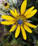 Besouro azul do escaravelho na margarida Imagem de Stock Royalty Free