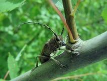 Besouro bonito Fotos de Stock