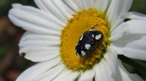 besouro Branco-manchado da forra do fruto Imagem de Stock Royalty Free