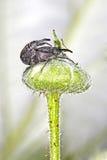 Besouro a broca da Framboesa-morango ou da framboesa Fotografia de Stock