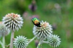 Besouro colorido Fotografia de Stock