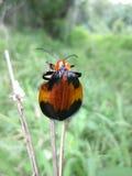 besouro com nervuras Alaranjado-preto na grama seca em Suazilândia Fotografia de Stock Royalty Free