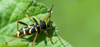 Besouro da vespa Fotografia de Stock Royalty Free