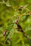 Besouro de batata de Colorado Fotos de Stock