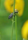 Besouro de bolha que escala uma planta Fotografia de Stock Royalty Free