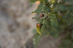 Besouro de Colorado em uma folha do arbusto da batata no jardim Uma praga perigosa para a agricultura Macro Imagem de Stock Royalty Free