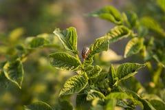 Besouro de Colorado em uma folha do arbusto da batata no jardim Uma praga perigosa para a agricultura Macro Fotografia de Stock Royalty Free