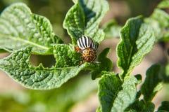 Besouro de Colorado listrado do adulto que come as folhas verdes novas da batata, praga imagem de stock royalty free