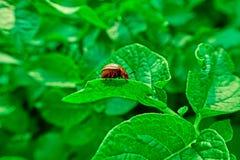 Besouro de Colorado na folha verde da batata Imagem de Stock