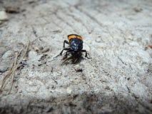 Besouro de enterramento, besouro do cadáver, Imagem de Stock