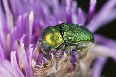 Besouro de folha (chrysomelidae) que alimenta no thistle Foto de Stock Royalty Free