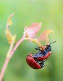 Besouro de folha de acoplamento do álamo Fotografia de Stock