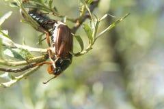 Besouro de maio em um ramo do close-up do espinheiro cerval de mar fotografia de stock