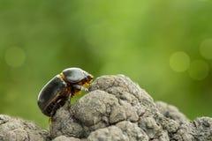 Besouro de milho oriental que rasteja em uma árvore em um fundo verde Fotos de Stock Royalty Free