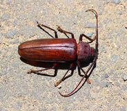Besouro de Palo Verde Beetle /Longhorn Fotografia de Stock