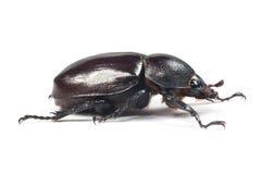 Besouro de Rhinceros, Unicorn Beetle imagem de stock royalty free