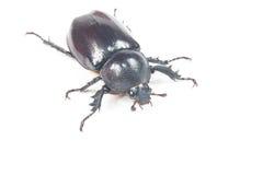 Besouro de Rhinceros, Unicorn Beetle fotografia de stock