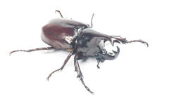 Besouro de Rhinceros, Unicorn Beetle imagem de stock
