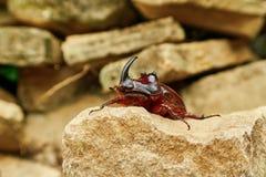 Besouro de rinoceronte em uma pedra Fotos de Stock