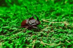 Besouro de rinoceronte na grama Fotos de Stock Royalty Free