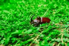 Besouro de rinoceronte na grama Imagens de Stock