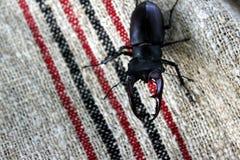 Besouro de veado Foto de Stock