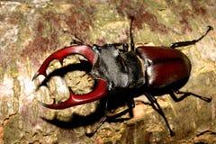 Besouro de veado (cervus de Lucanus) Fotografia de Stock Royalty Free