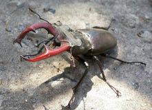 Besouro de veado em uma pose de ameaça na luz solar Foto de Stock Royalty Free