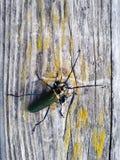 Besouro de veado na madeira no lago foto de stock